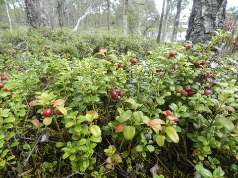 Hele folket lå i startgropa: Under krigen var det satt en startdato for når folk kunne plukke tyttebær. Da dagen kom, ble skogene invadert av bærplukkere.