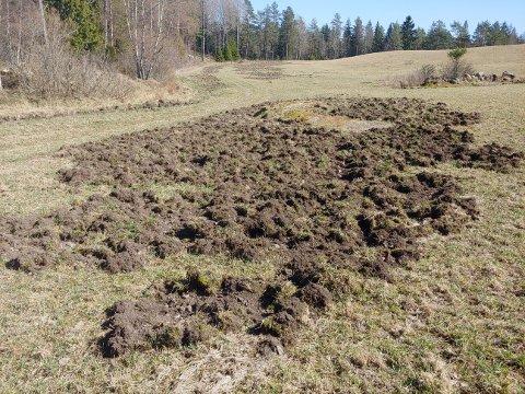SKADER: Her på Hauglund i Aremark har villsvinene herjet, og enorme skader har blitt gjort.