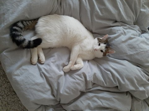 STERKT SAVNET: Katten til Pernille Penny er sporløst forsvunnet. Nå håper eieren at finnerlønn på 5000 kroner skal få katten hennes hjem igjen.