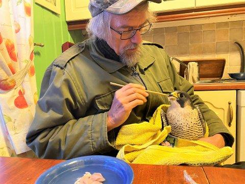Får god pleie: Vandrefalken virker ikke stresset der den får mat av Jan Ingar Båtvik på kjøkkenet i Råde. Kyllingbitene glir ned. (Foto: Øivind Lågbu)