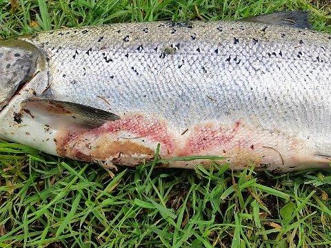 SYK LAKS: Denne laksen på 9,1 kilo ble fisket i Enningdalselva i dag, søndag, og er den som er verst angrepet av sykdom.