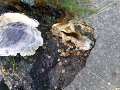Disse stillehavsøstersene ble funnet i Ringdalsfjorden.