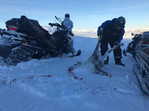Etter seks uker med statlig jakt av villrein i Nordfjella er 531 dyr felt. Dermed gjenstår om lag 1.000 rein i stammen, som skal utryddes helt. Bakgrunnen for den storstilte jakten, er utbruddet av skrantesyke (CWD). Ved å ta ut hele stammen håper man å fjerne den dødelige dyresykdommen fra norsk jord. Foto: Sondre Dalaker / NRK / NTB scanpix