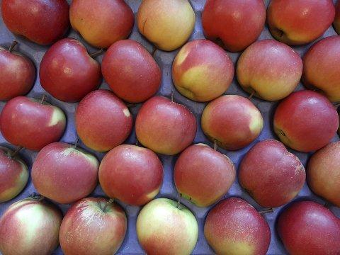 Elstar: I år kan ein få norske Elstar-eple i Coop-butikkane i desember, levert av Ullensvang Fruktlaget.Foto: Privat