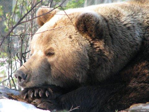 Det er tid for bjørnen å komme ut av hiet. Denne er ingen umiddelbar trussel for småfe i Grane og Hattfjelldal ettersom den hører hjemme i Namsskogan familiepark. Foto: Namsskogan familiepark
