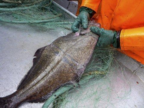 Testet: I mai testet forskere fiskeegenskapene til selvoppløselige garn utenfor Senja i Troms. Foto: Jørgen Vollstad, NTB/scanpix