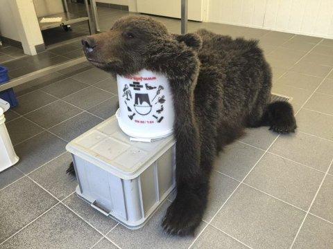 Bjørneskinnet: Hvis det går som museet vil, kan bjørneskinnet ende opp på veggen i Grane Bygdetun. Alle bilder: Privat