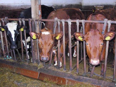 Døde: Syv kyr døde etter å ha blitt eksponert for metangass på en gård i Bardal. Illustrasjonsfoto: Hildegunn Tjøsvoll