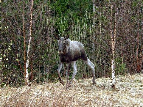 Ventetid: Elgjakta har pågått i snart en måned, men det er stille på de konfliktfylte elgvaldene i Hattfjelldal.