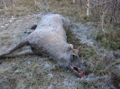 NJFF i Nordland betegner situasjonen for elgstammen i  Hattfjelldal som svært dramatisk.