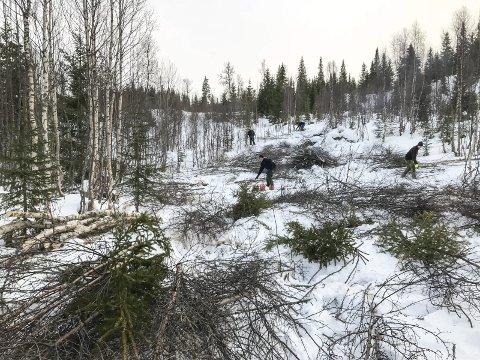 I fjor høst var det mye dugnadsarbeid fra folkene i  Mosjøen IL Ski som bidro til at traseene sto ferdig til vinterens NNM.