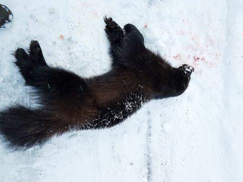Jerven som ble felt nordøst av Lukttinden var en hannjerv på 14 kilo.