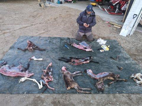 Store tap: Stig André Brennhaug, rovviltkontakt i Hattfjelldal for Statens naturoppsyn forteller at reineierne har vært ekstremt plaget med tap av reinkalv til rovdyr.