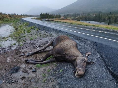 KOLLISJON: Denne elgen måtte bøte med livet etter en påkjørsel ved Strauman bru tidligere i høst.