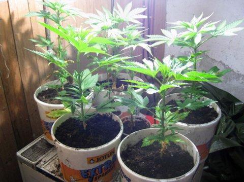 CANNABISPLANTER: Politiet kom over den lille cannabisplantasjen ved en tilfeldighet ettersom de ransaket hjemmet til den siktede mannen av en helt annen grunn, opplyser politiførstebetjent Nikolai Fiskergård ved Porsanger lensmannsdistrikt.