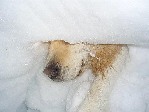 REDDER LIV: Her bryter en lavinehund seg gjennom snøen.