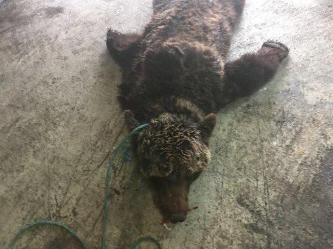 SKUTT: Slagbjørnen som ble skutt ved Grense Jakobselv.