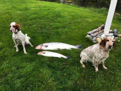 GOD SESONG: Alva og Zita poserer stolt foran to laks på 13 og 4 kg tatt på land av matfar Ole Jacob Kleven.