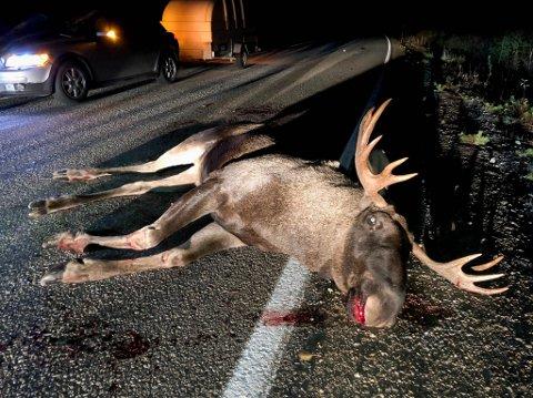 DØDE: Elgen som lørdag kveld ble påkjørt i de nordfinske skoger, døde.
