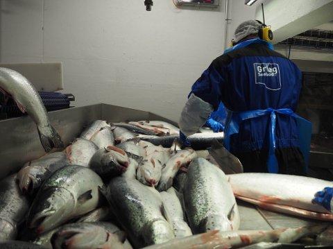 LITEN SLAKTEVEKT: Lakseslakteriet til Grieg Seafood på Simanes. er for tiden i gang med å slakte oppdrettslaks. Laksen som slaktes  for tiden er større og i bedre hold enn laksen som ble slaktet i 2. kvartal. Kvaliteten på den fisken førte til at Grieg Seafood tapte 41 millioner.