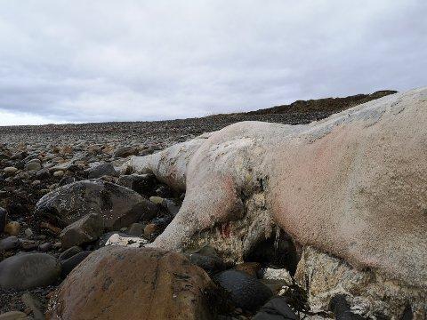 SPERMHVAL: Det ble torsdag funnet et kadaver av en spermhval i Vadsø.