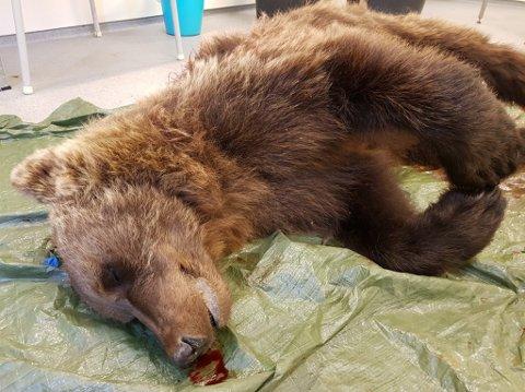 SKUTT: Hannbjørnen som ble skutt i Neiden natt til sist mandag, veide 93 kilo. Nå jaktes det på to til. Foto: Statens naturoppsyn