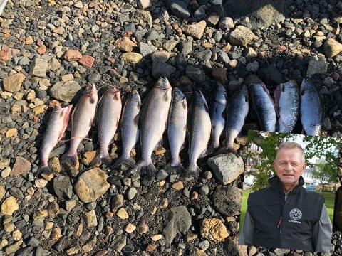 STORE MENGDER: I Karpelva og Klokkerelva i Sør-Varanger har det siden juli i år blitt tatt opp  over 2000 pukkellaks. Nå ønsker jeger- og fiskerforeningen i Sør-Varanger å ta opp problematikken på høyere nivå, det sier Øystein Hansen.