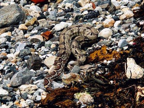 HELT PYTON: Kongeboaen har ikke ligget død lenge i fjæra i Tromsø. Foto: Are Medby