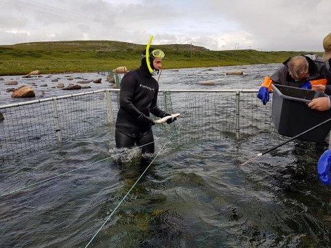 VELLYKKET: Prosjektet med å fange pukkellaksen ved hjelp av bur, har vært vellykket og Kjell Odin Larsen i KJFF sier han er meget fornøyd med fangsten på 604 fisk. Her ser vi Emil Hosen som dykker i buret, og Arnt Jensen ved siden.