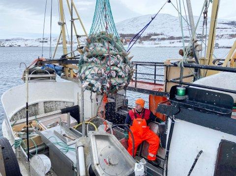SYSSELSETTER MANGE I SØR: Trond Henriksen leverte tidligere i år denne fangsten på Storekorsnes. Han bidrar til at man har arbeidsplasser over hele landet, og ikke bare i Finnmark.
