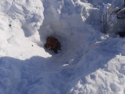 FASTKLEMT: Reven hadde kun hode oppe over snøen da den ble funntet-
