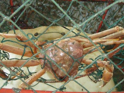 FANGET: Denne snøkrabben var en av 13000 som satt fast i teinene Fiskeridirektoratet hentet opp.