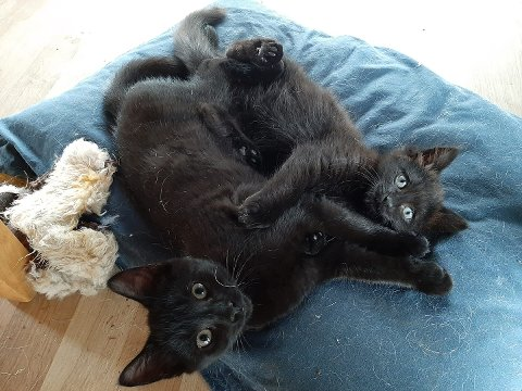 FIKK NYE HJEM: DNNT adopterte i 2020 bort 131 katter. På bildet er Reese og Robin. Robin ble Inderøyning i fjor høst.