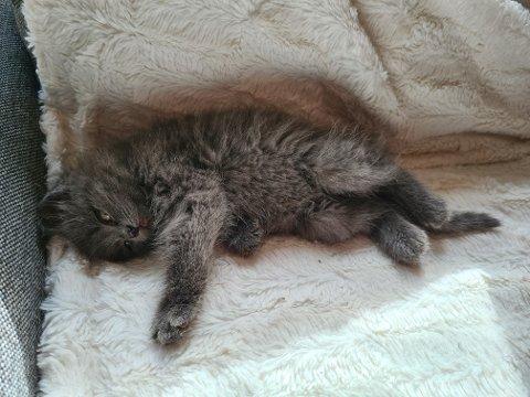 FORLATT: Enzo ble funnet alene og forlatt i fjæra i Mosvik, dyrebeskyttelsen frykter det er flere kattunger i området som trenger hjelp