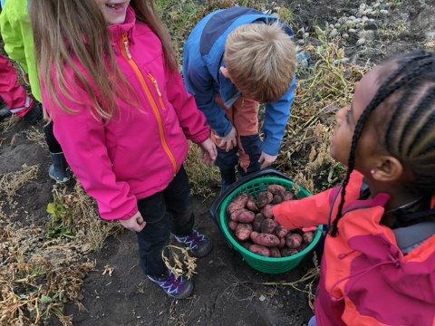 TA EN POTET: Potetopptaking var en populær aktivitet for  andreklassingene ved Sakshaug skole.