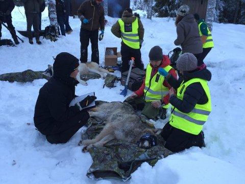 Store ressurser: Det er mange involvert i arbeidet med forvaltningsmerking av ulv. Foto: Anita Høiby Gotehus, Østlendingen
