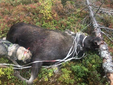 LIDELSER: Denne elgoksen som ble avlivet i Harkerudåsen tirsdag kveld, hadde fått hodet og gevir surret inn i gjerdebånd, og kunne gått en pinefull død i møte. Foto: Privat
