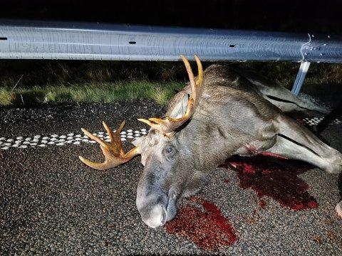 Denne elgoksen døde etter påkjørsel ved Liermosen torsdag kveld. Ytterligere to elger og sju rådyr har blitt påkjørt i Indres distrikt i løpet av uka. Foto: Torbjørn Kløfta