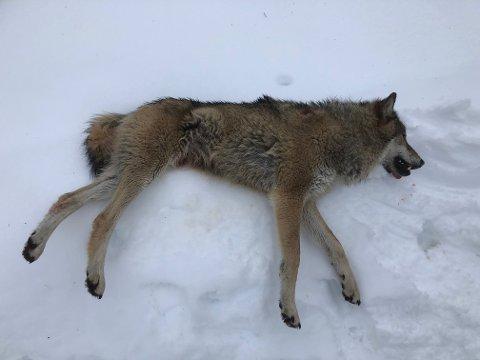 SKUTT: Denne 36 kilo tunge hannulven ble felt i Våler torsdag formiddag.