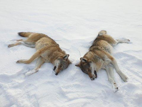 FELT FØR JUL: Årets ulvejakt er i gang. Her to ulver som ble skutt allerede før jul vest for Sølensjøen i Rendalen kommune.