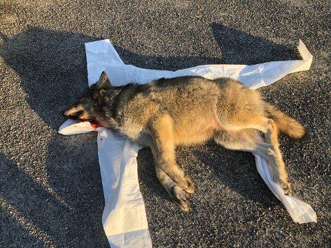 DØDE MOMENTANT: Ulven som ble påkjørt, døde momentant.