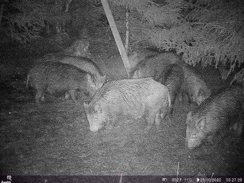 Dette bildet viser villsvin som har funnet frem til en foringstasjon i Aremark.