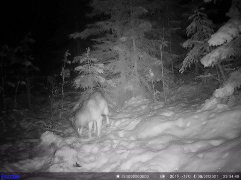 Denne ulven ble fotografert av viltkamera like sør for Aursmoen rett før midnatt onsdag.