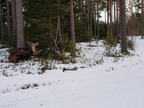 TRIST SYN: Lise Askvik syntes først og fremst det var trist å se elgen ligge helt stille i en sving langs lysløypa.