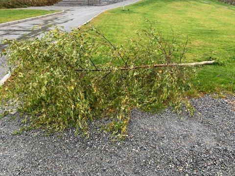 TREFALL: Ei lita bjørk som vinden har lagt flat, var det eneste vi onsdag kunne finne av spor etter onsdagens vindkast.