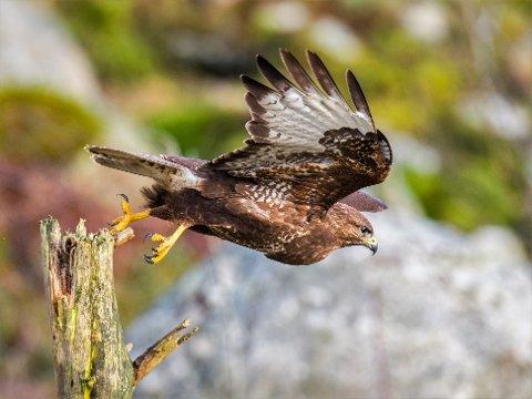 En musvåk bruker mye av dagen til å speide etter byttedyr fra et høyt tre. I angrepsøyeblikket stuper jegeren nedover med lett foldete vinger, for så å seile lavt over bakken fram mot byttet.