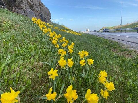 VAKKERT SYN: Bilister møtes av dette flotte synet: påskeliljer plantet i sikk sakk-mønster i veikanten. Klikk på pila til høyre for å se flere blomsterbilder.