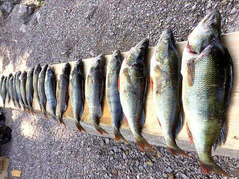 EVENTYRLIG FISKE: Arild Bergli Olsen kan maule abbor i ukesvis.