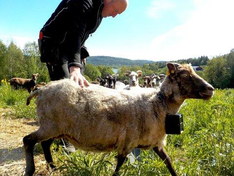LOVENDE FORSØK: Tore Felin med en av sine trådløse e-sauer ved Lørdal gård. Foto: Lars Ivar Hordnes