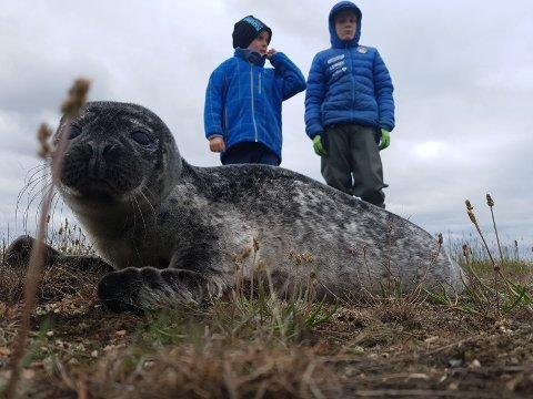 HJALP TIL: Denne steinkobbeungen fikk hjelp til å finne tilbake til sjøen. På bildet ser vi også Oskar (9)og Erik (13).